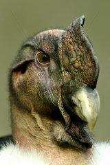 Portrait of Andean Condor -Wild Luneburg Heide Park Germany
