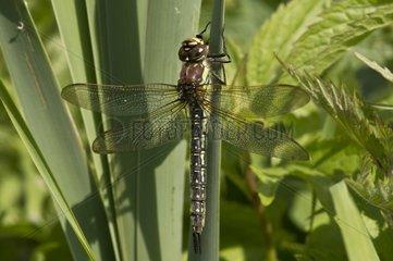 Hairy Dragonfly on leaf - Denmark