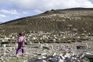 Woman embracing his flock - India Himalayan highlands