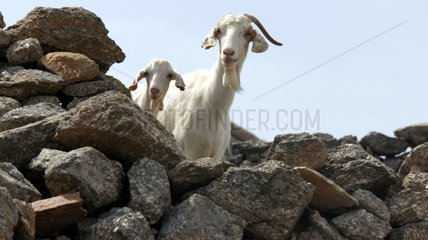 Goat and kid on a stone wall - Mykonos Greece