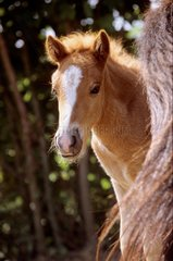 Portrait of Iceland foal - France