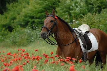 Iberian bay horse in field of poppies - France