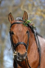 Portrait stallion Pure Bred Spanish - France