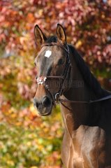 Portrait of Selle Français Horse in autumn - France
