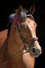 Portrait of Selle Français Horse with flower - France