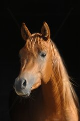 Portrait Pure Bred Arab Horse chestnut - France