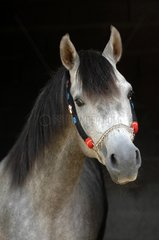 Portrait Pure Bred Arab Horse grey - France