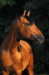 Portrait of Purebred Spanish Horse - France