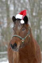 Portrait of Iceland pony and Santa hat in winter - France