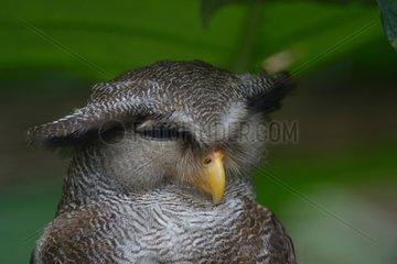 Portrait of Malay Eagle Owl - Malaysia