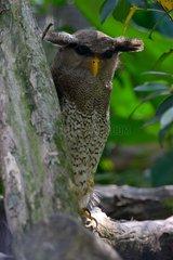 Malay Eagle Owl on a branch - Malaysia