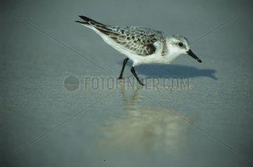 Bécasseau sanderling fouillant le sable Porto Rico
