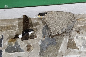 House Martin in flight by nest - Powys Wales UK