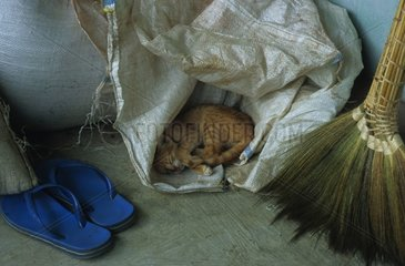 Alley cat sleeping in a plastic bag Cambodia