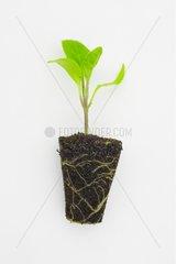 Mini clump of eggplant seedling