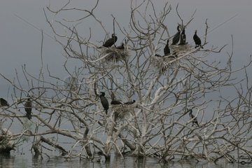 Group of Great cormorants in a tree