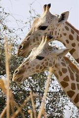 Nigearian Giraffes Niger