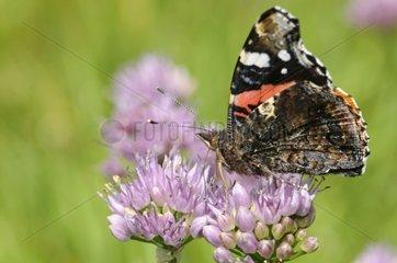Red Admiral gathering nectar on Mountain Garlic Vosges