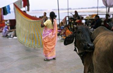 Holly cow and extending women's clothes Vârânaçî India