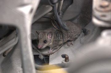 Dormouse walking in a car's engine