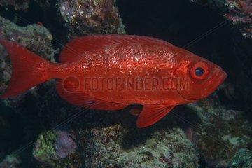 Beauclair de roche nageant devant un récif Mer rouge