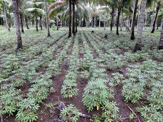 Cassava Plantation under Palm trees - Lombok Indonesia