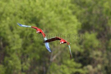 Red and Green Macaws arriving on falaiseTambopata Peru
