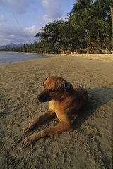 Dog laid down on the sand of a beach of Thailand