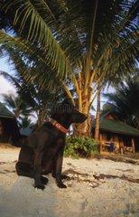 Dog sitting on a sand beach under a Palm tree Thailand