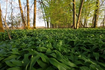 Ramsons in buttons in the Alsatian ried