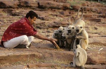 Man making an offering to Hanuman langurs India