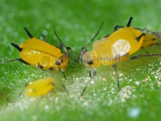 Aphids eating by pricking the leaves of apple