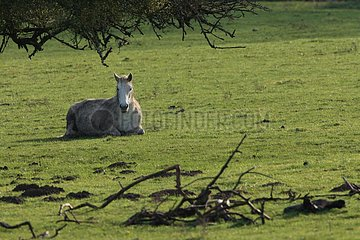 Horse lying down in a meadow Marne France