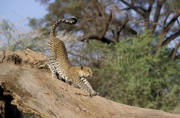 Leopard stretching itself on a dead tree trunk Africa
