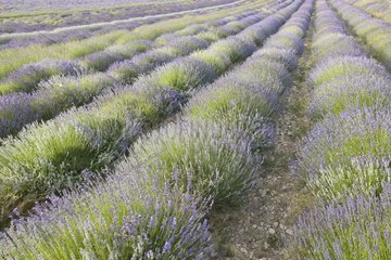Field of officinal Lavender resulting from sowing Provence France