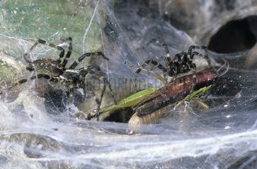 Social spiders taking their prey to the nest Gabon