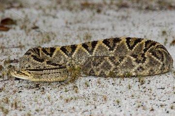 Neotropical rattlesnake on ground French Guiana