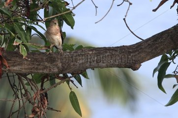 Frances's Sparrowhawk in Mango in Mayotte
