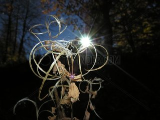 Back-light through dead branches and sheets