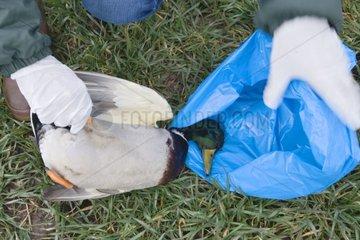 Mise en sac d'un Canard mort et protection contre virus H5N1
