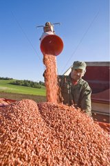 Farmer filling tremis of drill with treated corn seeds