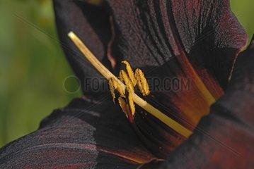 Hemerocallis 'Couvre Feu' flower Burgundy France