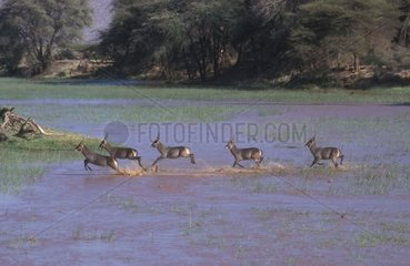Group of Cobes crossing a marsh Africa