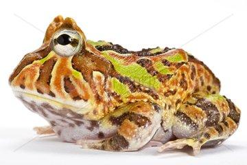 Fantasy Horned Frog in studio
