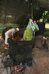 Préparation pour la distillation de l'Ylang-ylang à Mayotte