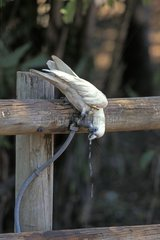 Little Corella drinking at a leaking faucet Australie