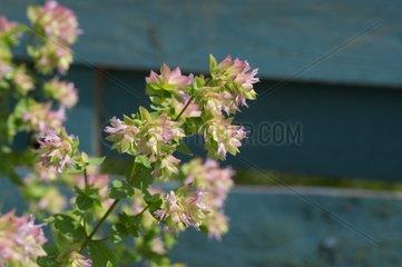 Oregano 'Dingle Kent Beauty' in bloom in a garden