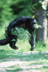 Male Bonobo acting aggressive