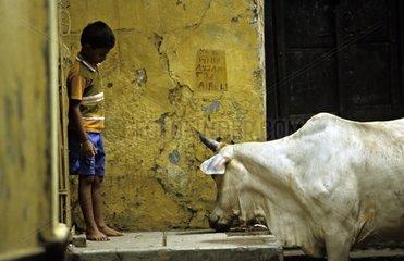Sacred cow and boy in the streets of Vârânaçî India