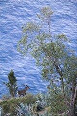 Male Spanish Ibex watching near the sea Spain